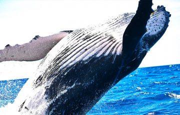 眠っていた「クジラ」が活動開始|BTC・XRPなど複数の仮想通貨で大量の資金移動