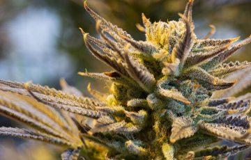大麻ビジネス「納税問題」を仮想通貨で解決|カリフォルニア州議会議員が法案を提出