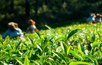 茶葉の追跡にブロックチェーン技術活用|生産量「4倍」目指す:インドACIL